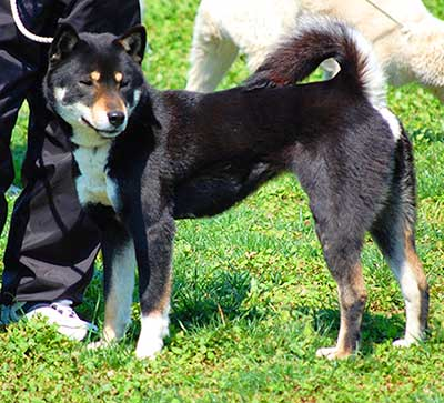 The darker and black colored Shikoku Dogs are preffered in Japan.
