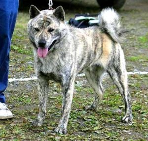 Hokkaido Dogs come in a variety of colors - red, white, brindle, black, black and tan, sesame, and wolf-gray.