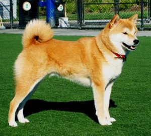 The Hokkaido Dog is a powerful, faithful and sturdy-looking working dog with strong hunting instincts.