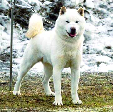Ainu Ken has a bit longer and thicker coat than other Japanese dogs and because of that is capable to withstand extremely low temperatures.