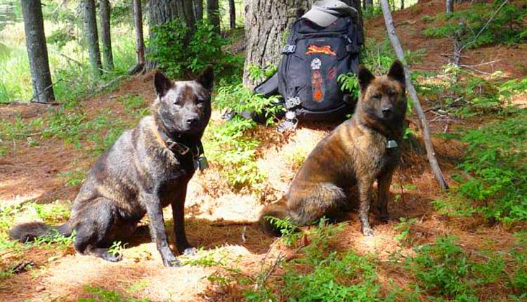 Tora Inu is an versatile hunting dog that can be used in the hunt on small, medium or large game.