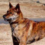 Kai Ken Dog Breed Info And Characteristics