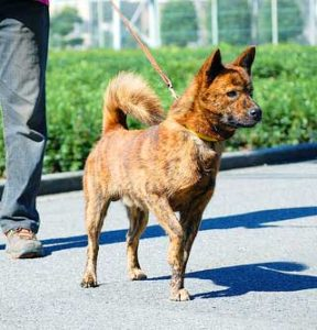 Aka-Tora (red brindle) dogs are the rarest of three varieties, other two being Kuro-Tora (black brindle) and Chu-Tora (dark brindle).