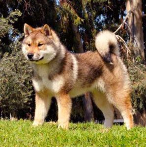 The length and density of the Shikoku Dog coat depends on the climate in his environment.