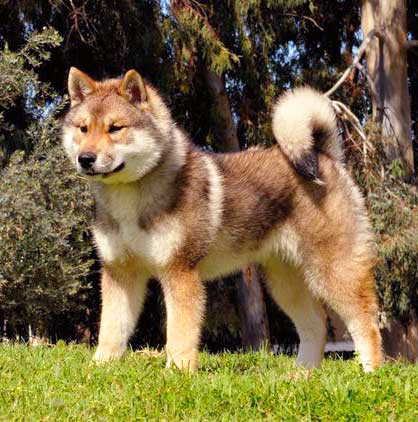 The length and density of Shikoku Dog coat depends on the climate in his environment.