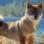 Shikoku Dog Breed Info And Characteristics