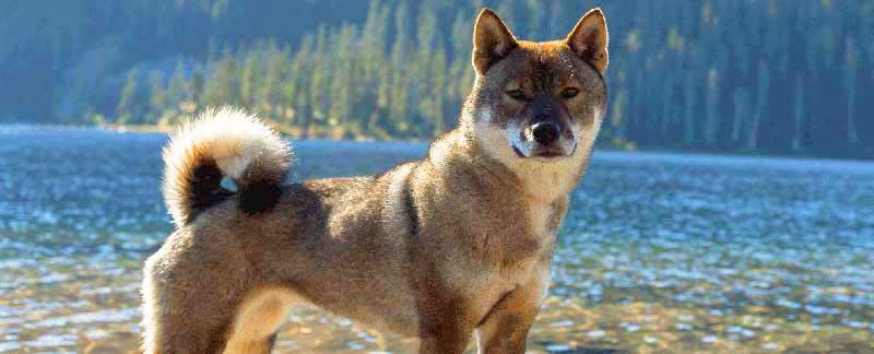 Shikoku Dog featured image