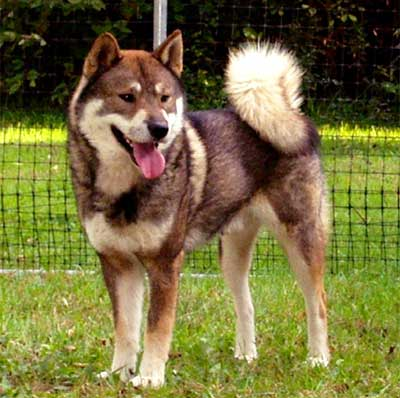 Shikoku Dog Breed Info Characteristics Traits Personality