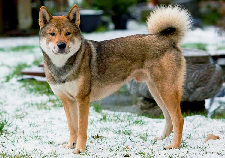 The Shikoku Ken is an intelligent, loyal and versatile dog that is best known after its hunting prowess.