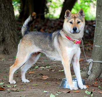 Although white Kishu Dogs are preferred and most common, they can as well be red or sesame.