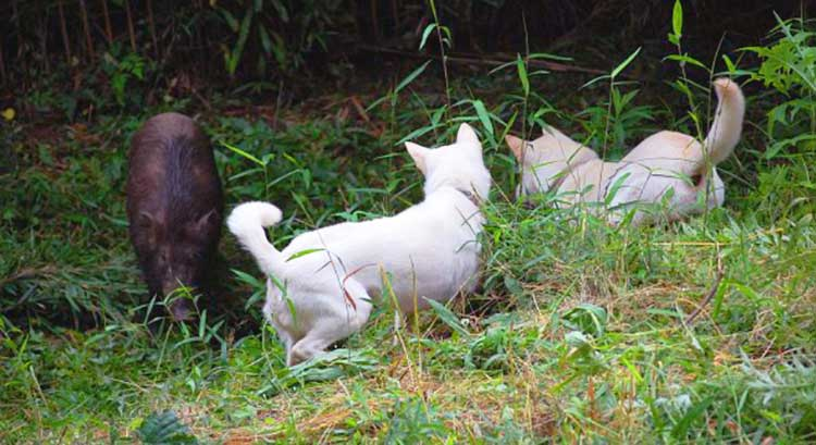 Kishu are primarily a large game hunting dogs, traditionally used for deer and wild boar hunting in Japan.