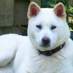 Kishu Inu Dog Breed Info And Characteristics