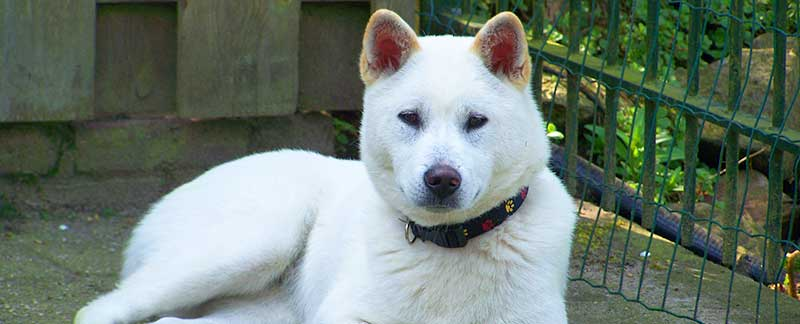 Kishu Inu featured image