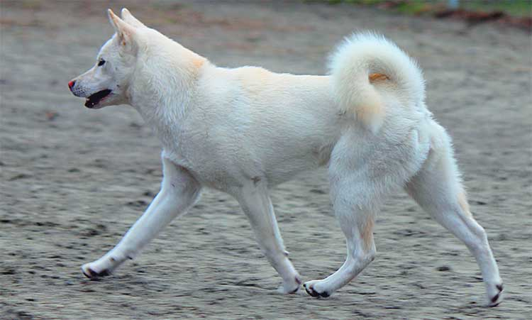 Kishu is an incredibly agile and athletic dog with restless spirit.