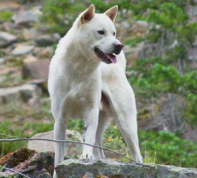 Kishu Ken is capable of climbing trees and cliffs, but also walls and fences.
