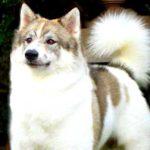 Thai Bangkaew Dog Breed Info And Characteristics