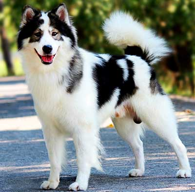 Thai Bangkaew is a beautiful medium-sized dog of square shape.