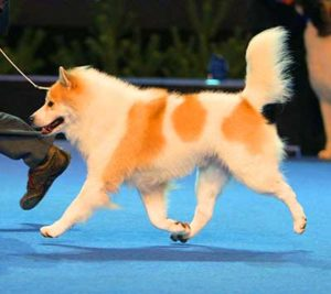 Thai Bangkaew is the one of two provisionally accepted breeds (the other one being the Taiwan Dog) and is not eligible for the CACIB.