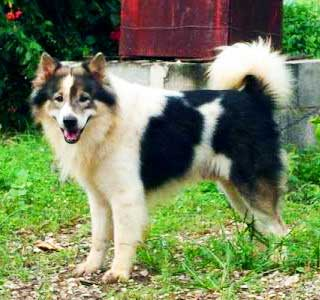 thai bang kaew dog