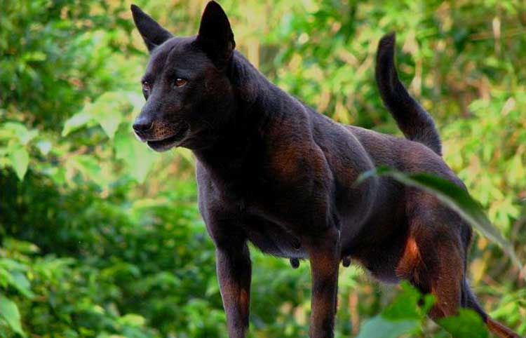 Taiwan Dog is an incredible hunting dog used to hunt Formosan Sika deer, Formosan wild boar and Formosan serow in its native country.