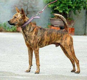 The Formosan Mountain Dog is an agile and strong dog quite reminiscent of the Basenji and Dingo.