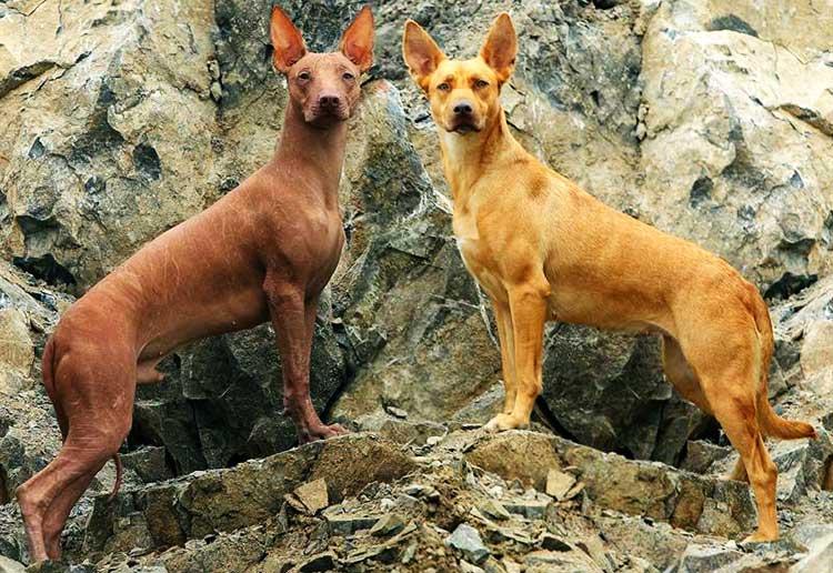 All About Peruvian Inca Orchid Dog Breed - Origin