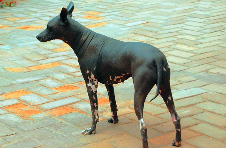 Large Inca Hairless Dog is the largest of three varieties and is often used as a family companion, a watchdog and a hunting dog.