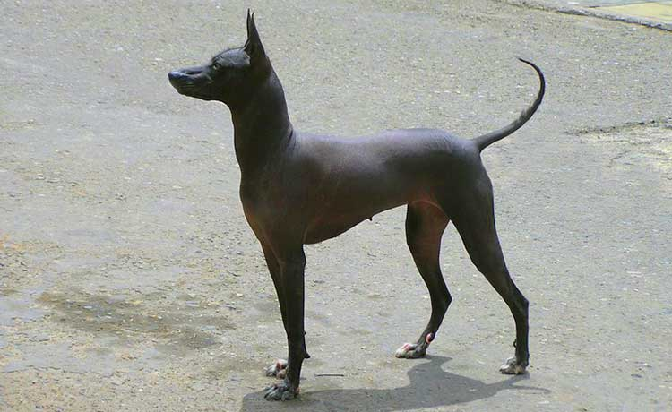 Medium Inca Hairless Dog is the most common of three varieties and is often used as a family companion and a watchdog.