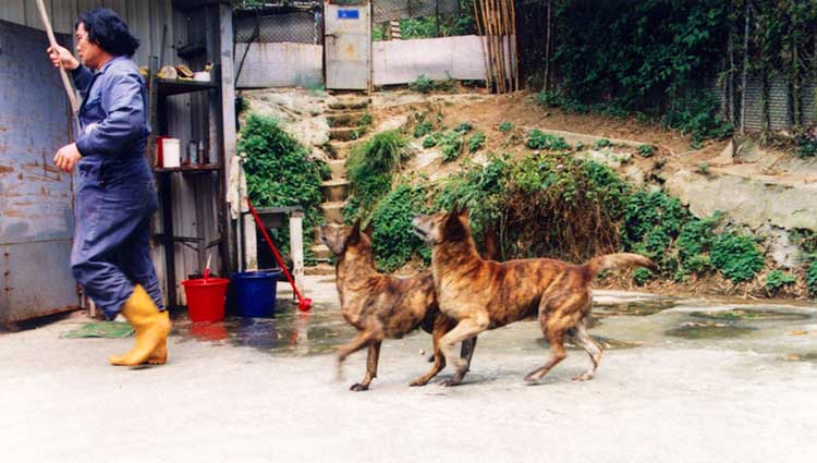 Ming-Nan Chen and his father Dr. Sung Yung-yi are credited the most for the salvation of the Taiwan Dog breed from the brink of extinction.