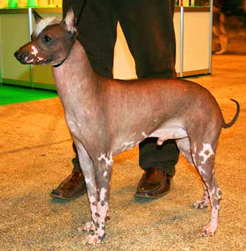 Only hairless Calato dogs are allowed for conformation.