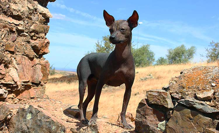 Small Inca Hairless Dog is the smallest of three varieties and is often used as a bed warmer.