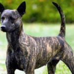 Taiwan Dog Breed Info And Characteristics