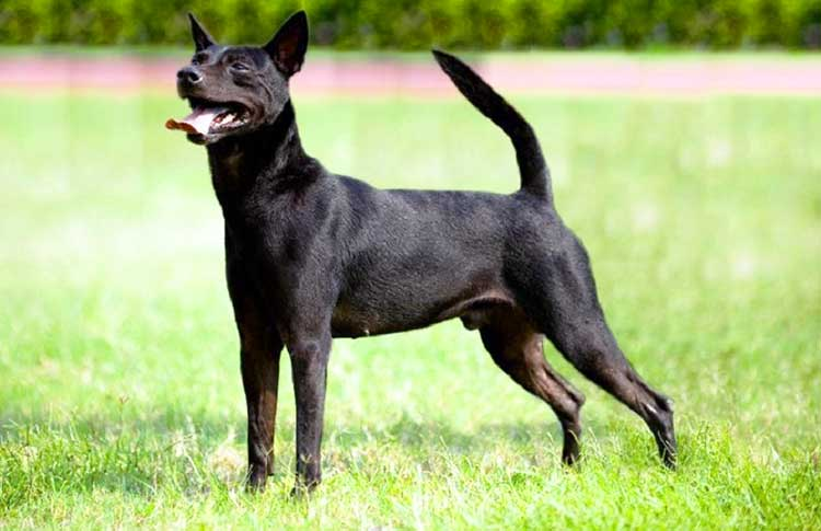 Formosan is a very agile and energetic dog that is usually active during a whole day.