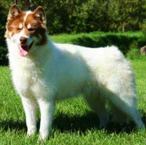The Canadian Eskimo Dog can withstand extremely low temperatures and can work in the harshest of terrains.