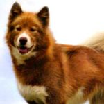 Canadian Eskimo Dog Breed Info And Characteristics