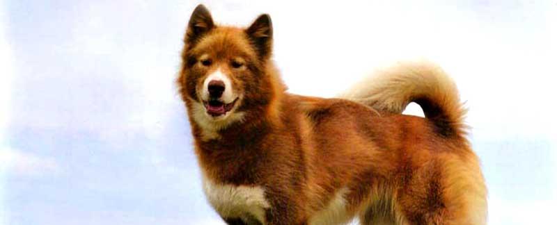 canadian eskimo dog breed info characteristics