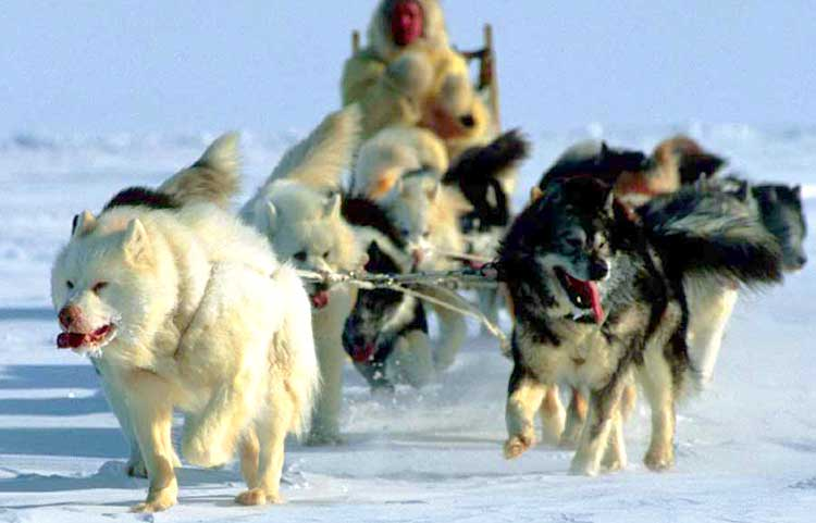 Canadian Huskies are extremely powerful and hardy sled dogs.