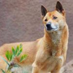 New Guinea Singing Dog Breed Info And Characteristics