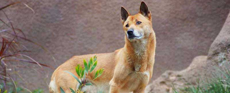 New Guinea Singing Dog featured image