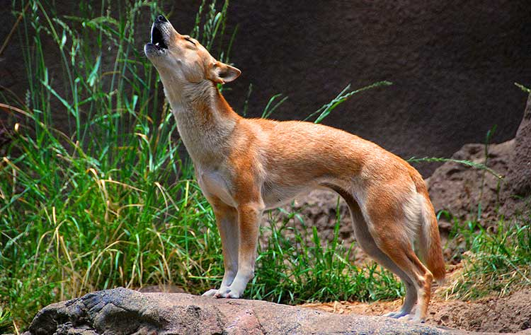 New Guinea Wild Dog is truly a magnificent singer, a true phantom of the opera, who can produce all kinds of unique vocalisations, including whines, yelps, howls, barks, screams.