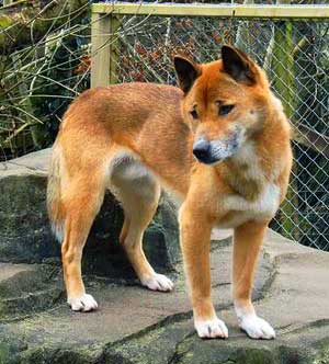 The New Guinea Singing Dog is an intelligent, gentle and lively dog that is very agile, energetic and flexible.