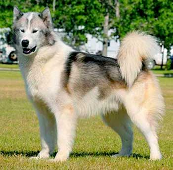 The Canadian Eskimo Dog is the embodiment of beauty, strength and endurance.