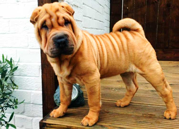 The Chinese Shar Pei is an excellent watchdog and guard dog.