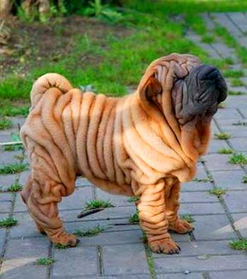 Chinese Shar Peis are in fact born with the oversized skin that slowly stretches as they grow up.