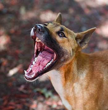 Singers have four carnassials that are much sharper and larger than those in other domesticated dogs.
