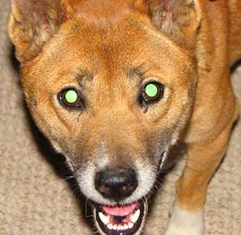 Singing Dog's eyes glow with green when reflecting low light in the dark.