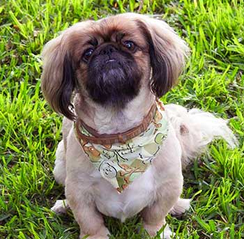 The coat of the Lhasa Apso is very long and is flowing nicely down to the ground, so you can make various haircuts out of it