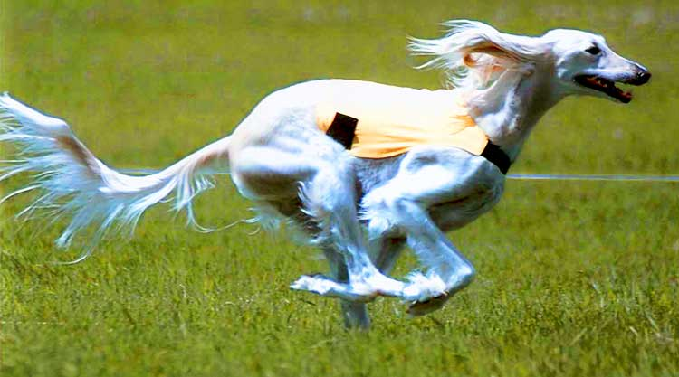 According to the Guinness Book of Records, the Saluki is actually the fastest dog on the planet.