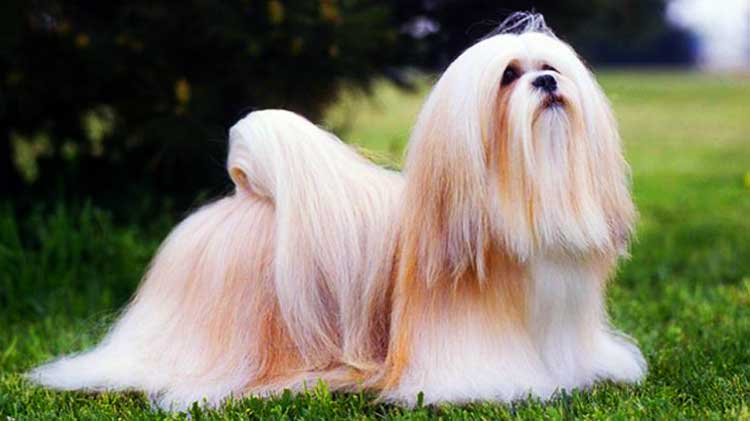 The Bearded Lion Dog is a supermodel in the world of dogs.