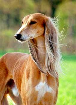 Persian Greyhounds have pendant ears that are adorned with soft, long hair.